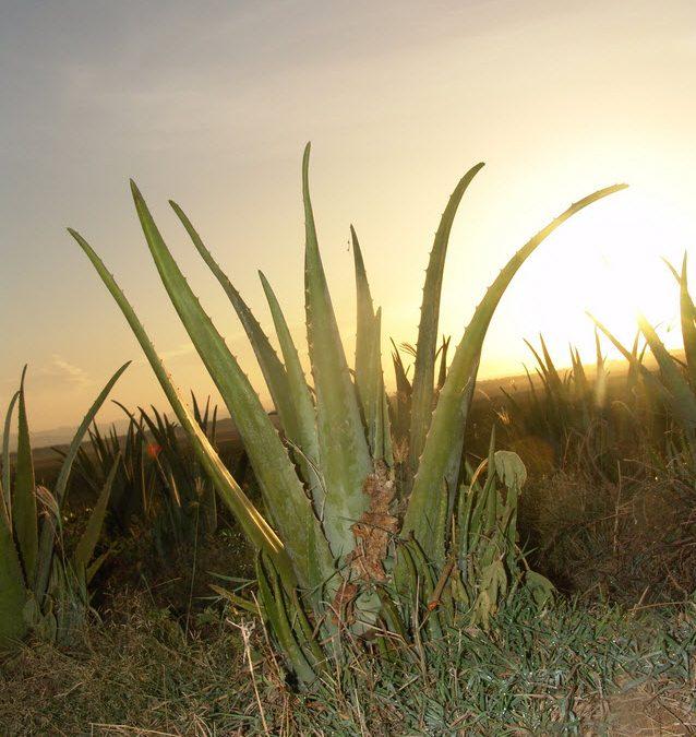 Aloe Vera-Das Kraftpaket für deine Gesundheit